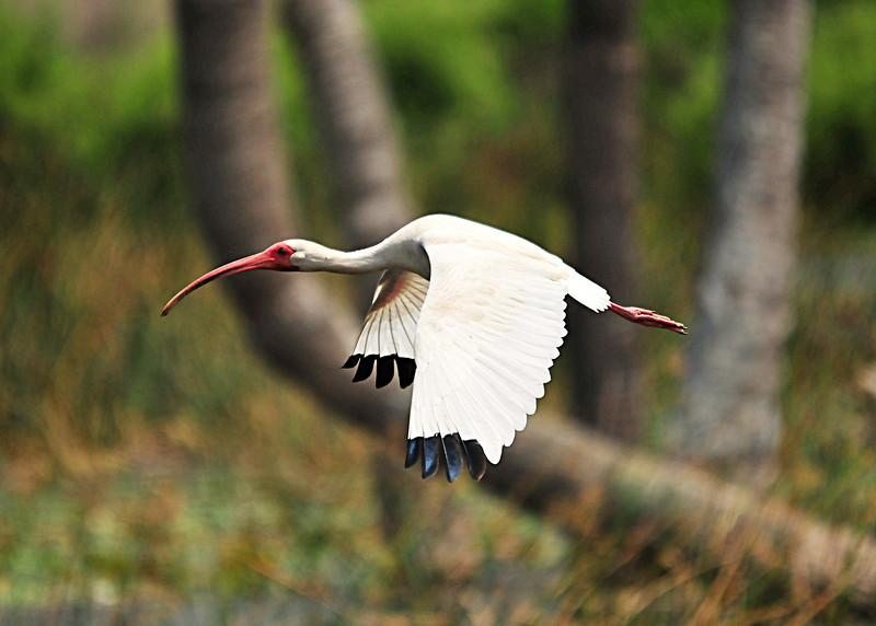 White Ibis in flight<br /> Viera Wetlands, Florida<br /> 056-7230a
