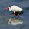 White Ibis<br /> Sebastian, Florida<br /> 033-9336a