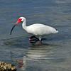 White Ibis<br /> Sebastian, Florida<br /> 033-933aa