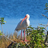 White Ibis<br /> Viera Wetlands, Florida<br /> 251-9819a