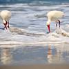 White Ibis<br /> Canova Beach, Florida<br /> 057-7640a