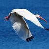 White Ibis in flight<br /> Viera Wetlands, Florida<br /> 251-9821a