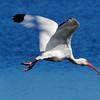 White Ibis in flight<br /> Viera Wetlands, Florida<br /> 251-9823a