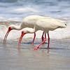 White Ibis<br /> Canova Beach, Florida<br /> 057-7653a
