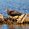 Glossy Ibis<br /> Viera Wetlands<br /> Melbourne, Florida<br /> 116-9679c