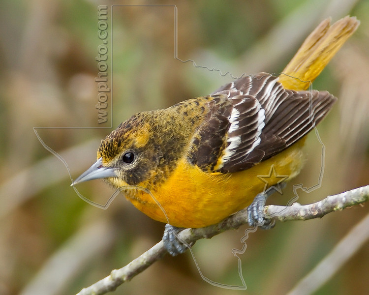 Baltimore Oriole, Immature Male,<br /> Quintana Neotropical Bird Sanctuary, Quintana, Texas