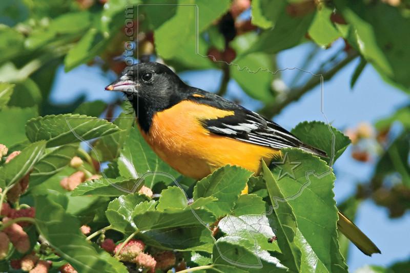 Baltimore Oriole,<br /> Galveston Island State Park, Texas