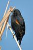 Red-winged Black Bird,<br /> Brazoria National Wildlife Refuge