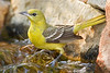 Orchard Oriole, Female,<br /> Quintana Neotropical Bird Sanctuary, Quintana, Texas
