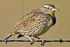 Meadowlark, Winter Plumage,<br /> Nordheim, Texas