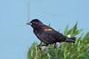 Red-winged Blackbird, Male,<br /> San Bernard National Wildlife Refuge, Texas