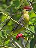 Orchard Oriole,<br /> Quintana Neotropical Bird Sanctuary, Freeport, Texas
