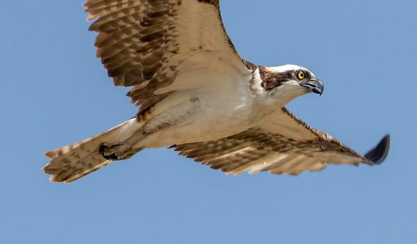 2020-09-21  Osprey