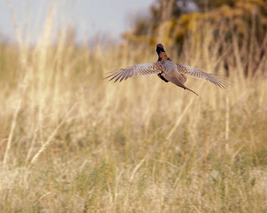 2020-09-18  Ring-necked Pheasant