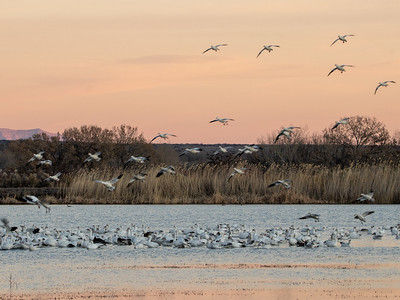 2020-01-19  Snow Geese at Sunset