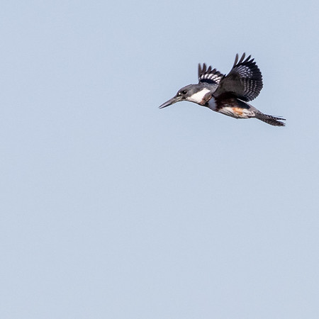 2020-11-28  Belted Kingfisher