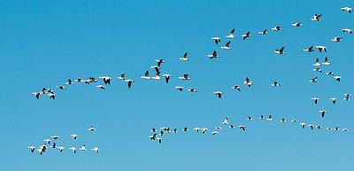 2017-03-13  Snow Geese