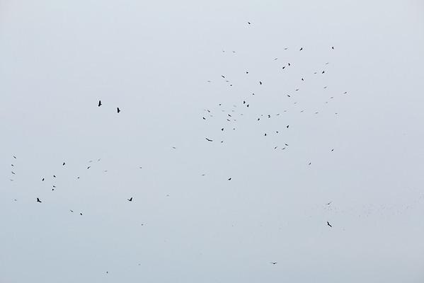 2016-03-26  Broad-winged Hawks