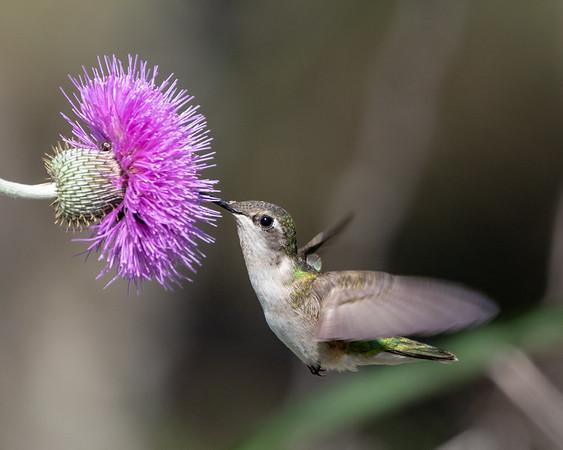 2020-04-15  Ruby-throated Hummingbird