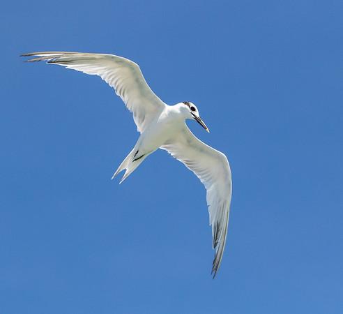 2020-10-11  Sandwich Tern