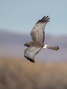 2020-01-19  Northern Harrier