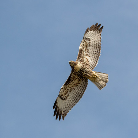 2020-09-19  Red-tailed Hawk
