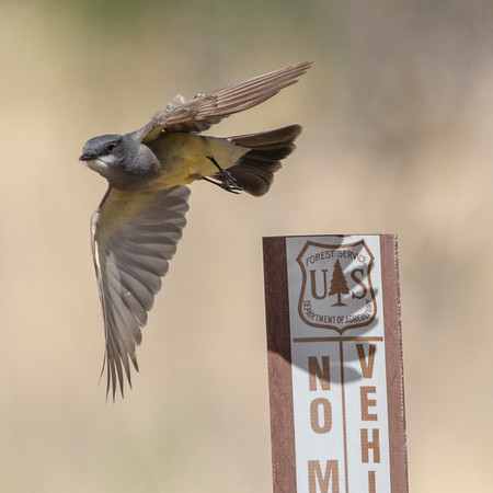 2020-06-07  Cassin's Kingbird