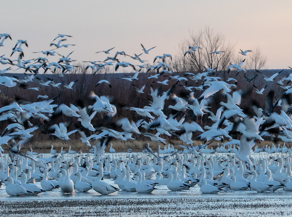 2020-01-19  Snow Geese at Sunrise
