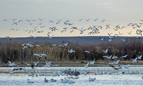 2020-01-19  Snow Geese and Sandhill Crane at Sunrise
