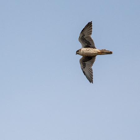 2020-09-19  Prairie Falcon