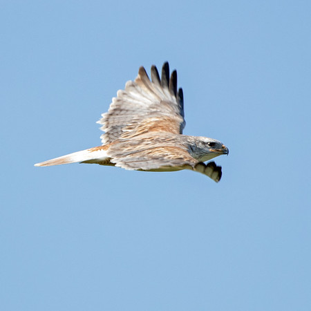 2020-03-01  Ferruginous Hawk