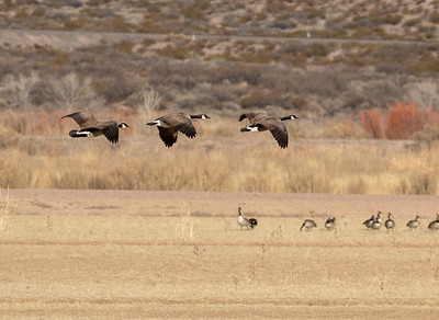 2020-01-20  Canada Geese
