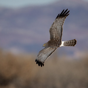 2020-01-19  Northern Harrier