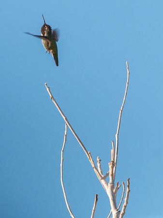2017-10-14  Anna's Hummingbird