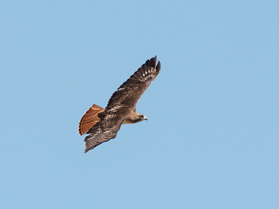 2017-03-13  Red-tailed Hawk
