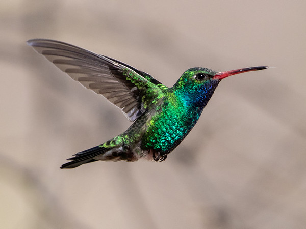 2020-02-02  Broad-billed Hummingbird