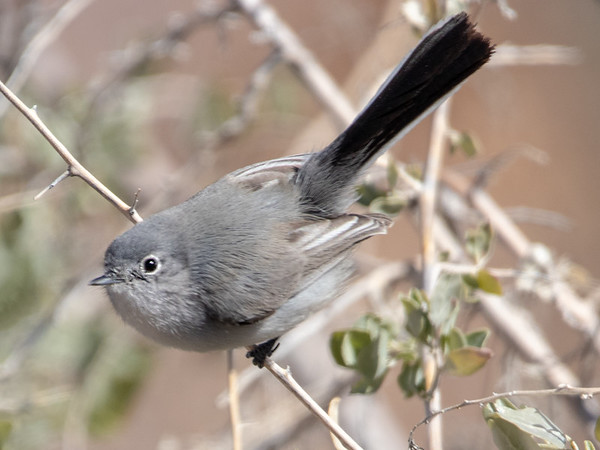 2019-02-18  Black-tailed Gnatcatcher (female)