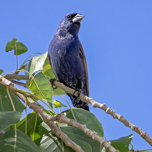 2020-06-07  Blue Grosbeak