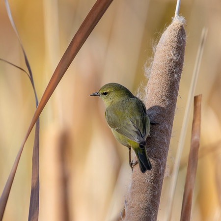 2020-12-12  Orange-crowned Warbler