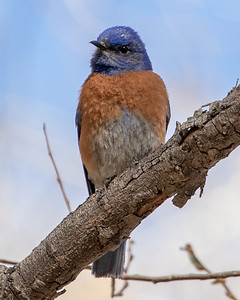 2021-04-04  Western Bluebird
