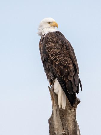 2020-01-20  Bald Eagle