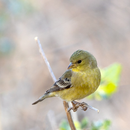 2020-12-12  Lesser Goldfinch (female)