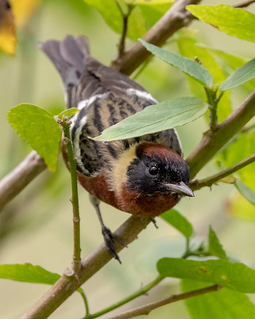 2020-04-22  Bay-breasted Warbler