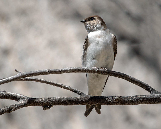 2021-04-04  Violet-green Swallow (female)