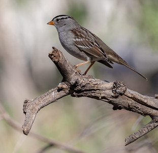 2020-02-02  White-crowned Sparrow