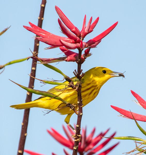 2020-04-24  Yellow Warbler