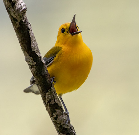 2019-05-24  Prothonatary Warbler