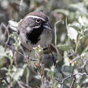2019-03-31  Black-throated Sparrow