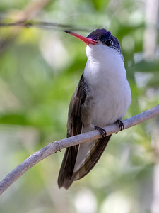 2020-02-02  Violet-crowned Hummingbird