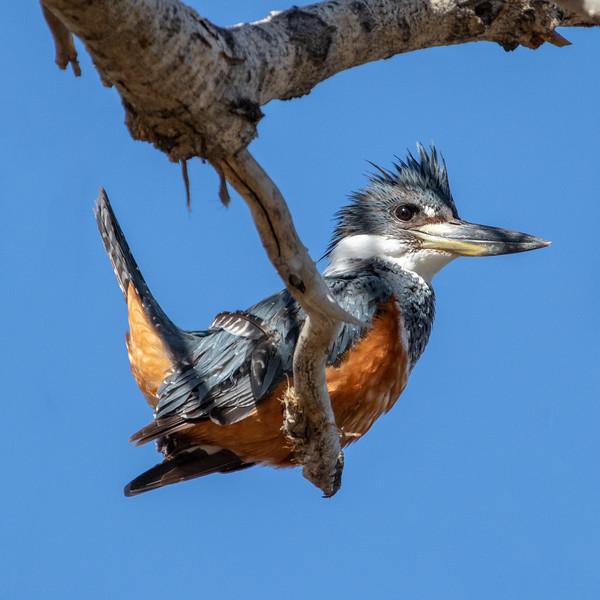 2019-02-18  Ringed Kingfisher (female)